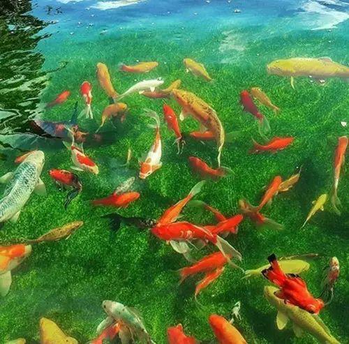 转载一位鱼友和锦鲤的春夏秋冬 西安水族批发市场 西安龙鱼第1张